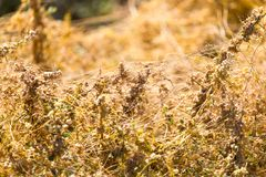 Gult gräs på naturen av parasit Royaltyfri Foto