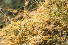 Gult gräs på naturen av parasit Arkivbilder