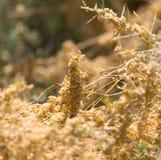Gult gräs på naturen av parasit Arkivfoton