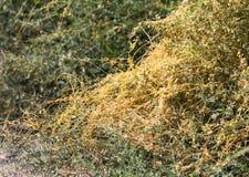 Gult gräs på naturen av parasit Fotografering för Bildbyråer