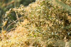 Gult gräs på naturen av parasit Royaltyfria Foton