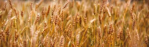 Gult korn som är klart för skörden som växer i ett lantgårdfält Arkivfoto