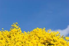 Gult krysantemumfält och bakgrund för blå himmel arkivfoton
