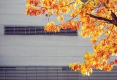 Gult lönnträd mot den stads- väggen för metall arkivfoton