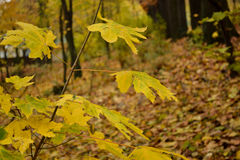 Gult litet träd i skogen Arkivfoto