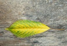 Gult och grönt höstblad Arkivfoton