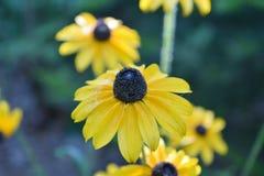 Gult oxeöga Daisy Flower Blossom Up Close royaltyfri fotografi