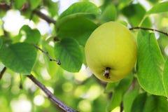 Gult päron på en trädnärbild, utomhus arkivfoton