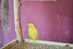 Gult papegojasammanträde på en filial royaltyfria foton
