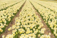 Gult pingstliljafält i norr Holland Royaltyfri Bild