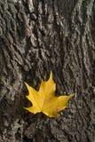 Gult platanusblad på trädskäll Royaltyfri Foto