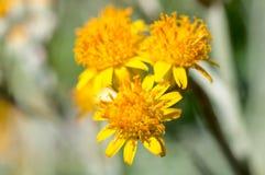Gult pollen Arkivfoto
