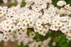 Gult pollen för vita blommor som blommar Beautifully Royaltyfri Foto
