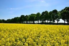 Gult rapsfält under den blåa himlen med solen Arkivfoto