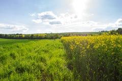 Gult rapsfält under den blåa himlen med solen Arkivbild