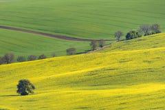 Gult rapsfröfält med det gröna fältet och träd arkivbilder