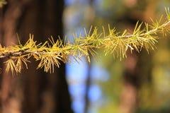 Gult sörja barrträds- i solsken Royaltyfria Bilder