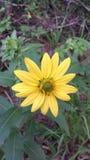 Gult skina för blomma som är ljust royaltyfri foto