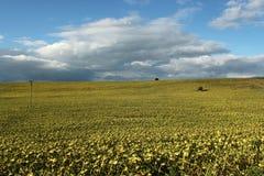 Gult Sol-blomma fält Arkivfoton