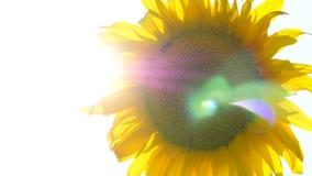 Gult solrosslut upp till och med vilket sol`en s rays passerandet I solros samlar biet nektar lager videofilmer