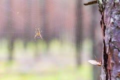 Gult svart Orb-vävare spindelAraneid kryp som sitter på hans spiderweb arkivfoto