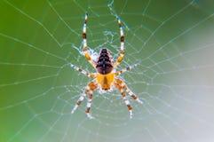 Gult svart Orb-vävare spindelAraneid kryp som sitter på hans spiderweb på grön suddig bakgrund fotografering för bildbyråer