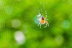 Gult svart Orb-vävare spindelAraneid kryp som sitter på hans spiderweb på grön suddig bakgrund arkivbilder