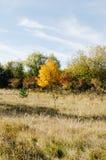 Gult träd i höst med gräsförgrund Arkivbild