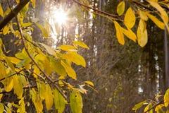 Gult träd med solen Royaltyfri Foto