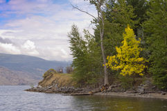 Gult träd på lakeshore Arkivbilder