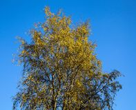 Gult träd, säsong - höst Hösten landskap Arkivfoto