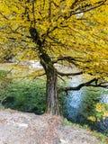 Gult träd vid bergströmmen royaltyfri bild