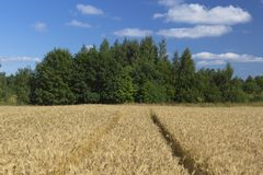 Gult vete på fält och träd och moln royaltyfri bild