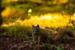Gulzige Eekhoorn die Pinecones Van Alaska verbergen Stock Fotografie