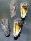 Gulzige krokodil stock fotografie