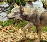 Gulzige Wolf die prooi in het midden van Hout 3 zoeken stock afbeelding