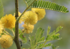 Gum arabic flower, Babla flowers Royalty Free Stock Photos