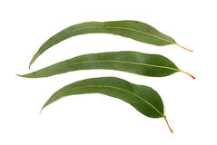 Gum leaf. Three gum leaves on isolated background Stock Images