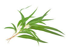 Gum leaves Royalty Free Stock Images