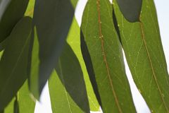Gum Leaves Stock Photography