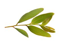 Gum leaves. Isolated on white background royalty free stock photo