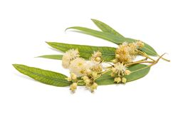 Gum leaves and blossoms Stock Photo