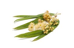 Gum leaves and blossoms Royalty Free Stock Photos