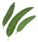 Gum Leaves with clipping paths Royalty Free Stock Images