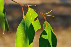 Gum Leaves Royalty Free Stock Image