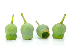 Gum Nuts. Eucalyptus gum nuts isolated against a white background royalty free stock photography