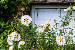 Gum rock rose Cistus ladanifer with new buds and beautiful white flowers. The white, yellow and red flowers of Gum rock rose Cistus ladanifer commonly known as royalty free stock photos