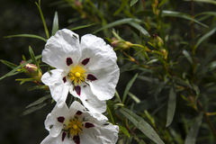 Gum rockrose blossom Royalty Free Stock Photos