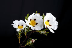 Gum rockrose - Cistus ladanifer Royalty Free Stock Photos