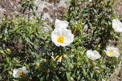 Gum rockrose, Cistus ladanifer. Flowers of Gum rockrose, Cistus ladanifer. Photo taken in Guadarrama Mountains, La Cabrera, Madrid stock photos
